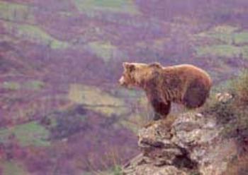 oso en laciana